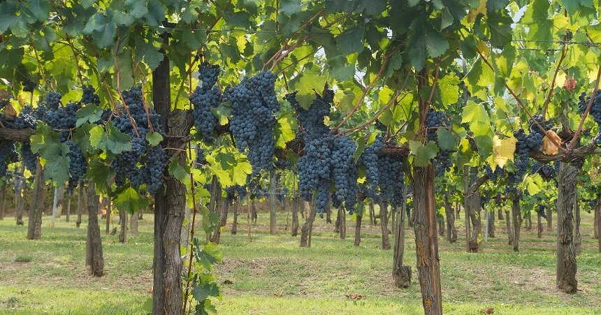 the chianti vineyards